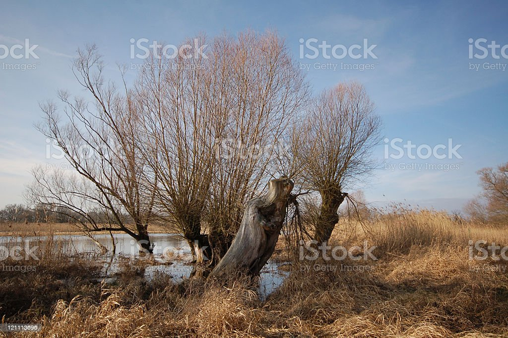 typical willow tree stock photo