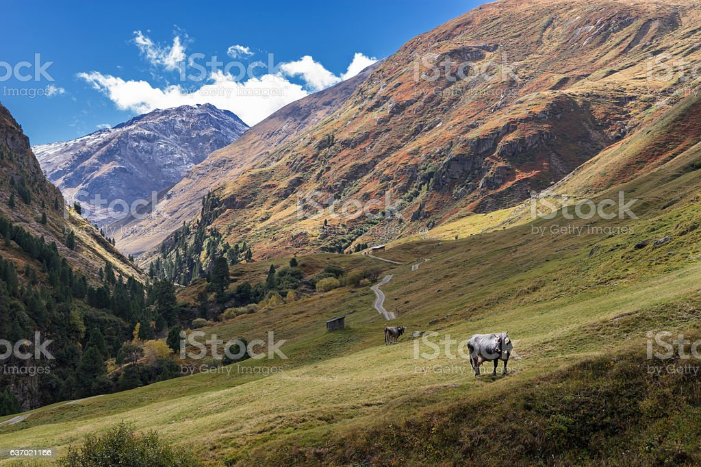 Tyrol Grey or Tyrolean Grey alpine cattle, milk cows, pasture stock photo