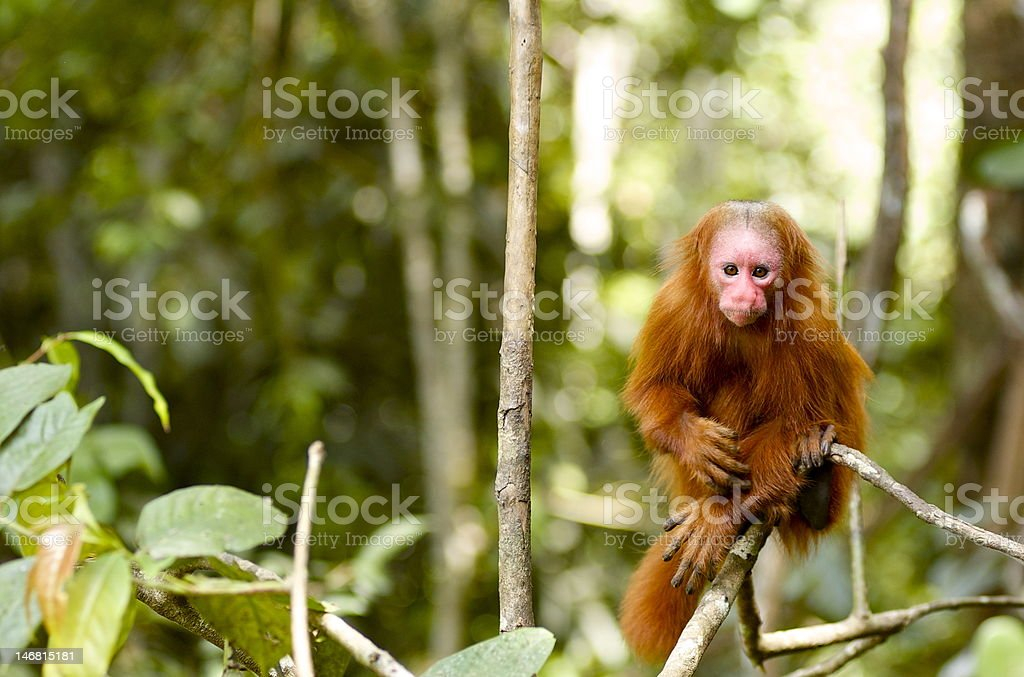 Uakaris Red Face Monkey in Iquitos Peru stock photo