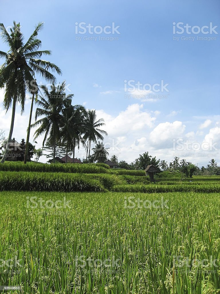 ubud rice fields bali royalty-free stock photo