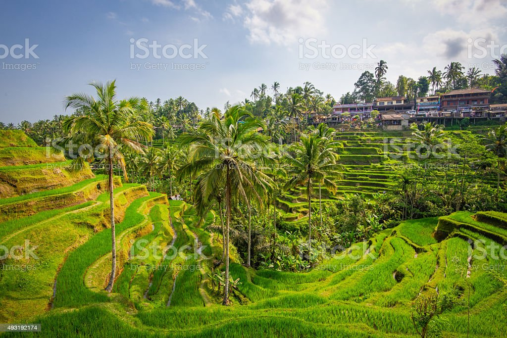 Ubud rice terraces, South West view stock photo