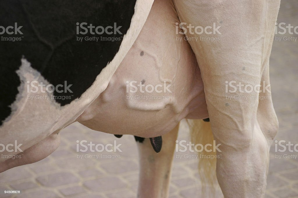 Udder of a cow stock photo
