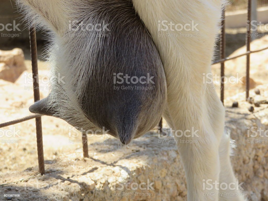 Udders of a goat close up stock photo