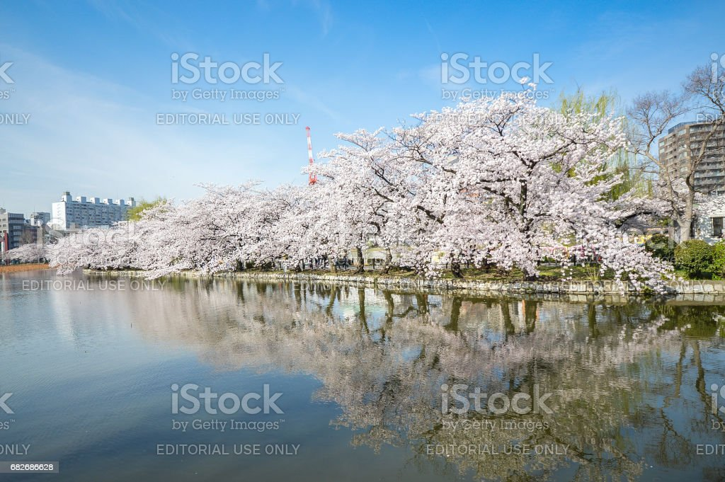 Ueno Park, Cherry blossom is event during spring. stock photo