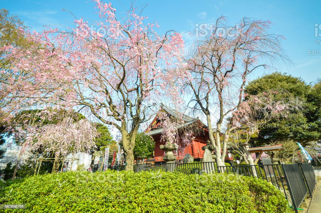 Ueno Park, Cherry blossom is event during spring.Kiyomizu Kannon Temple stock photo