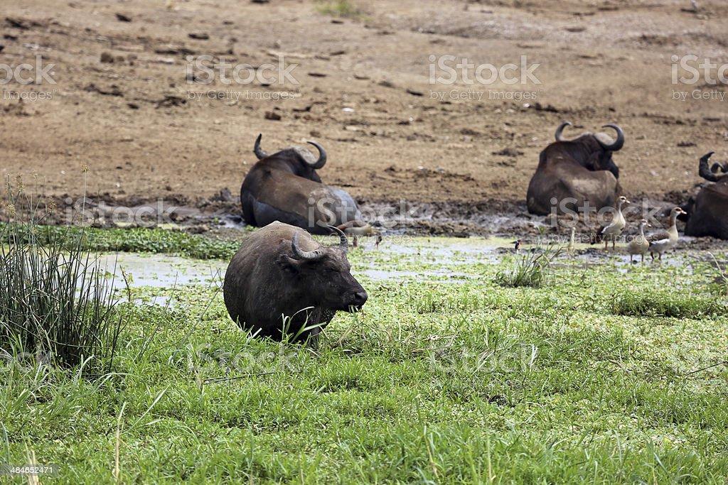 Uganda: African Buffalo in the Kazinga Channel stock photo