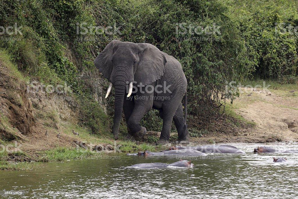 Uganda: Elephant on the shore of the Kazinga Channel stock photo