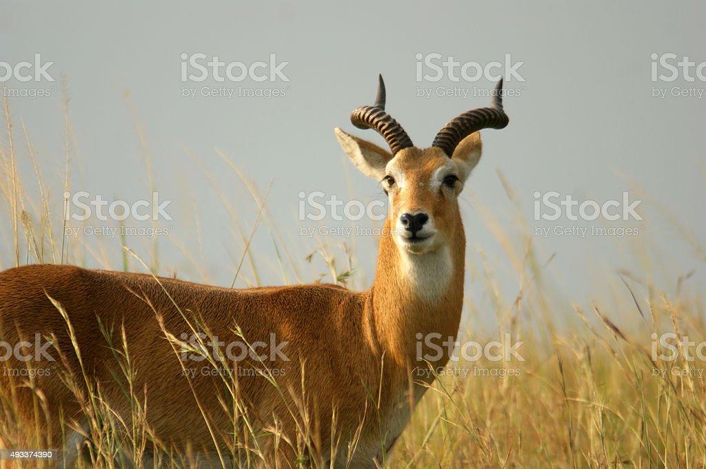 Uganda Kob stock photo