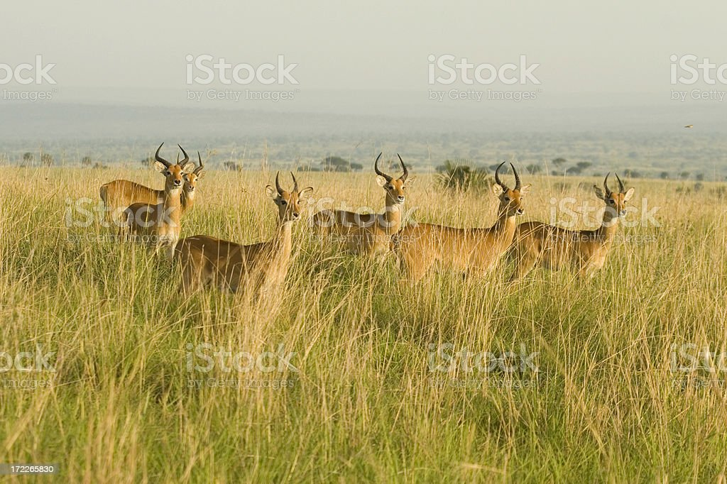 Uganda Kobs royalty-free stock photo