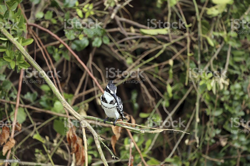 Uganda: Pied Kingfisher perched on a branch stock photo