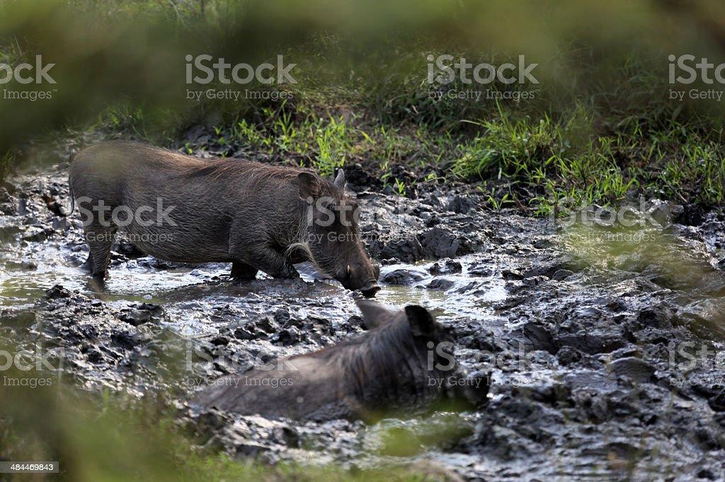 Uganda: Warthogs in mud at Lake Mburo stock photo