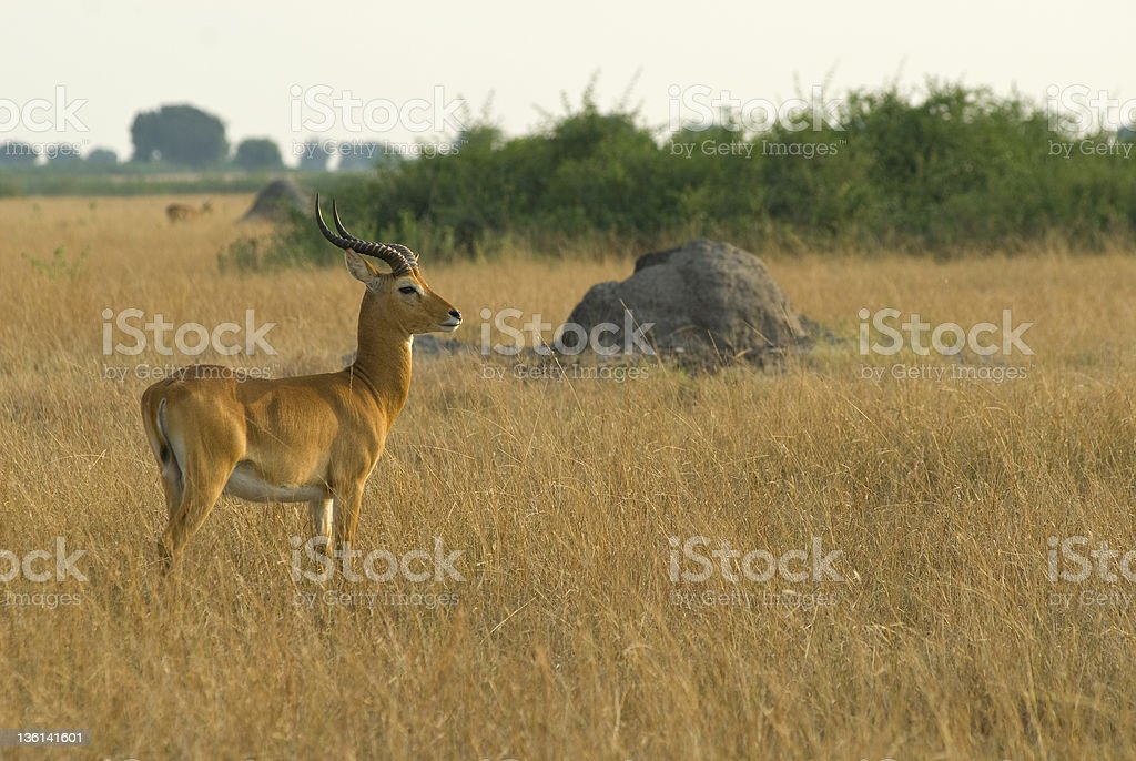 Ugandan Kob in Queen Elizabeth Nationalpark, Uganda stock photo