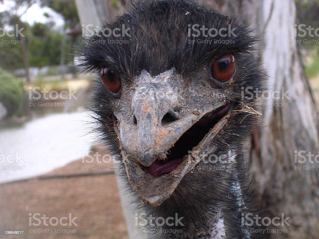 Ugly Emu Closeup royalty-free stock photo