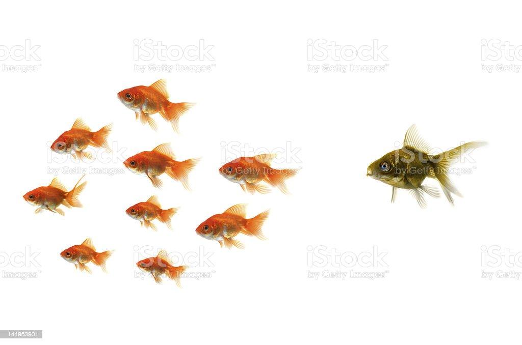 Ugly fish chasing groups of goldfish royalty-free stock photo
