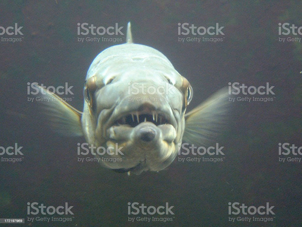 Ugly Fish stock photo