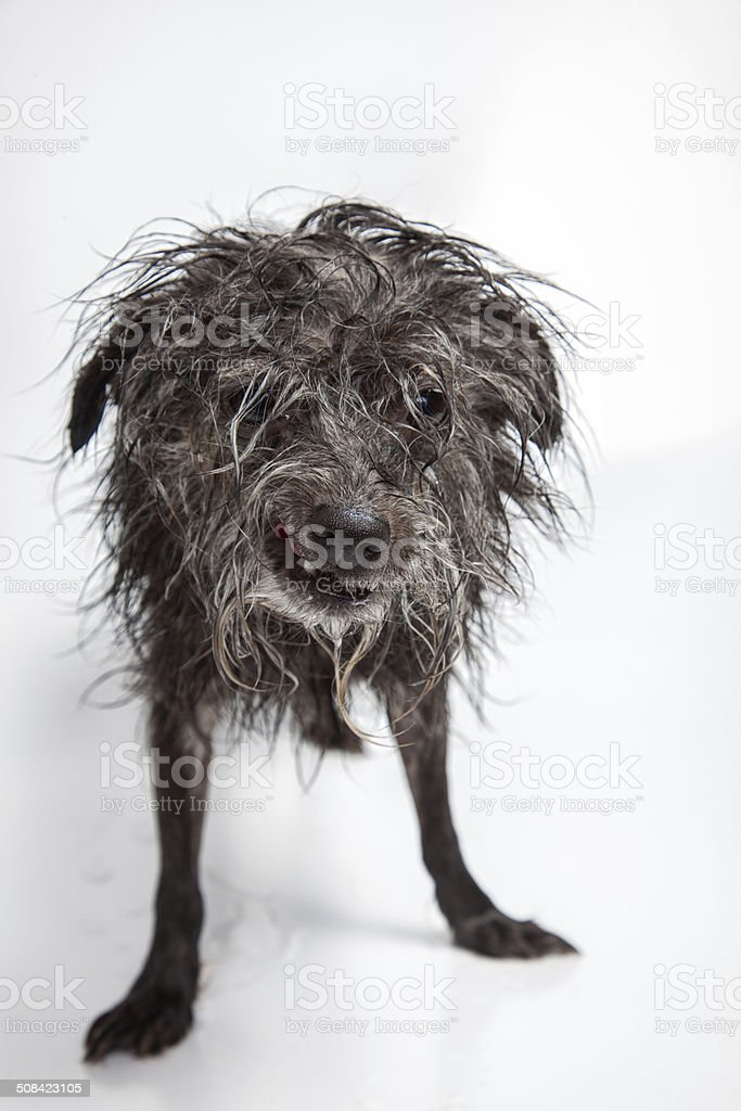 Ugly Scruffy Dog royalty-free stock photo