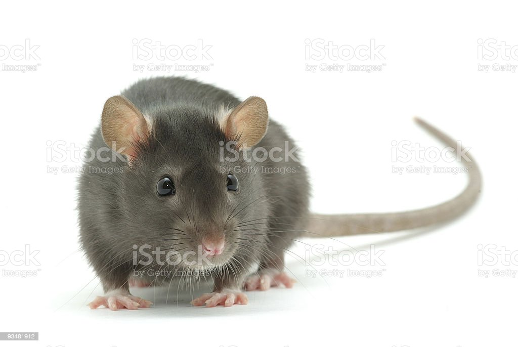 A ugly street rat with long tail royalty-free stock photo