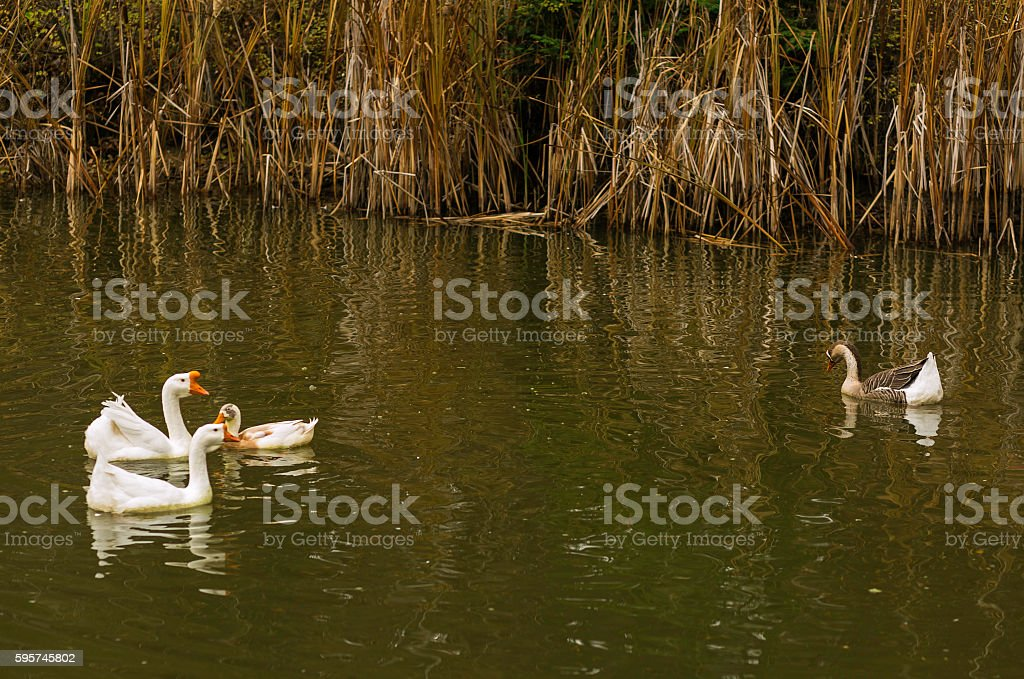 Ugly Swan stock photo