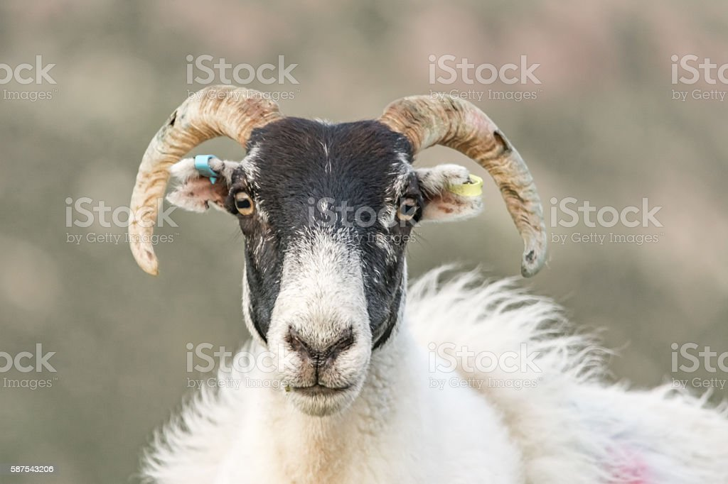 Uig Sheep, The Isle of Lewis in Scotland stock photo