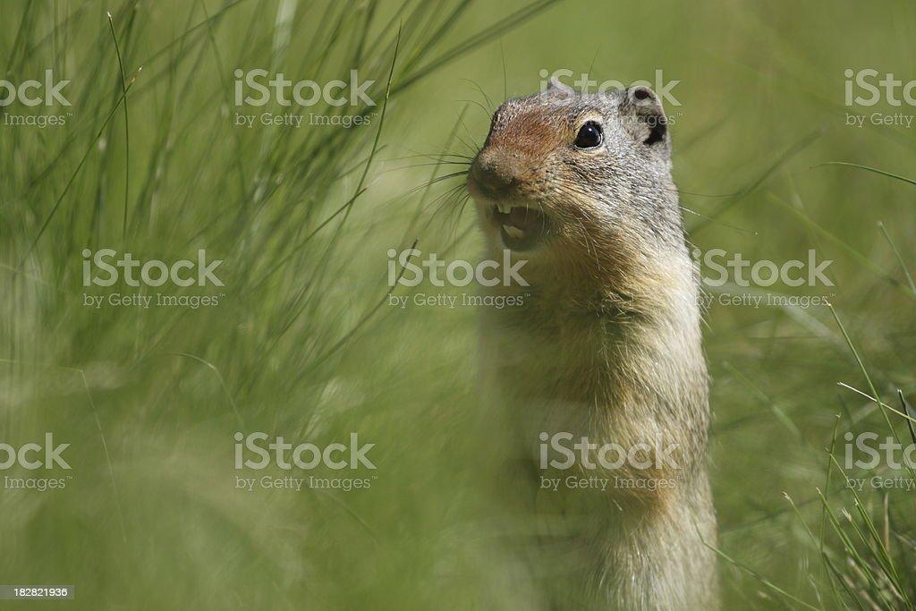 Uinta Squirrel Yelping stock photo