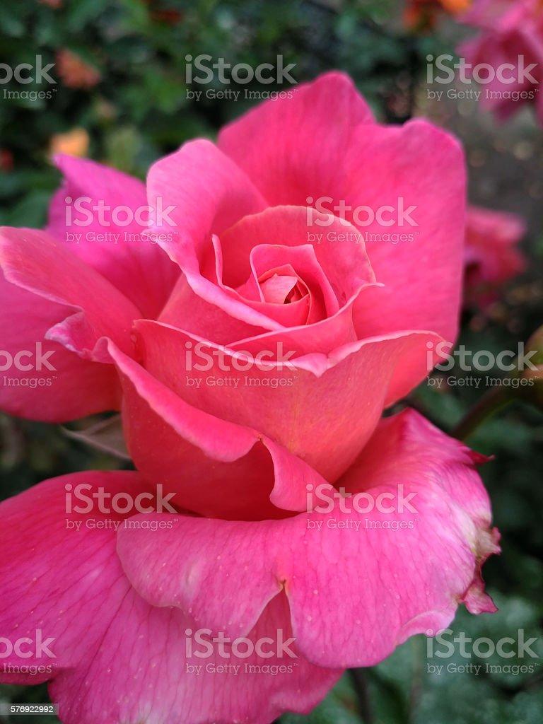 Ukrainian rose named Kievljanka, bred by Klimenko stock photo