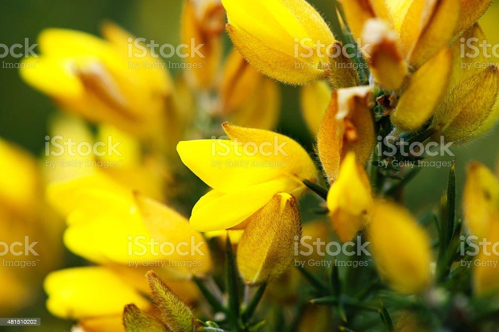 Ulex europaeus, gorse, common gorse, stock photo