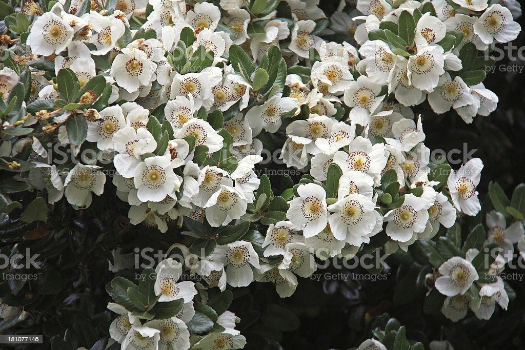 Ulmo tree (Eucryphia cordifolia) royalty-free stock photo