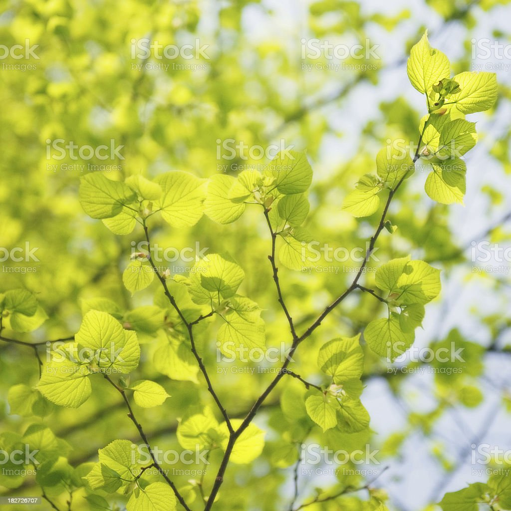 Ulmus glabra - elm tree leaves royalty-free stock photo
