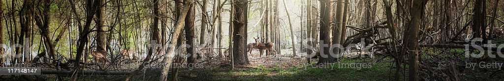 Ultra wide panoramic of deer in the forest stock photo