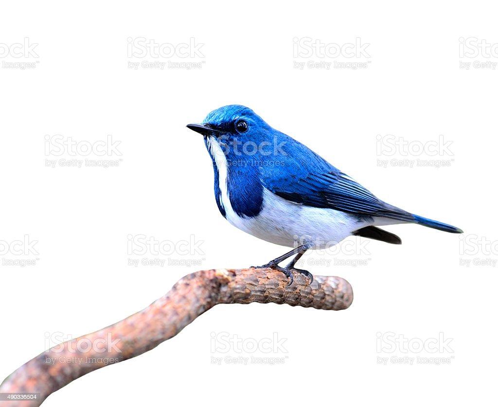 Ultramarine flycatcher, beautiful blue bird, posing on the branc stock photo