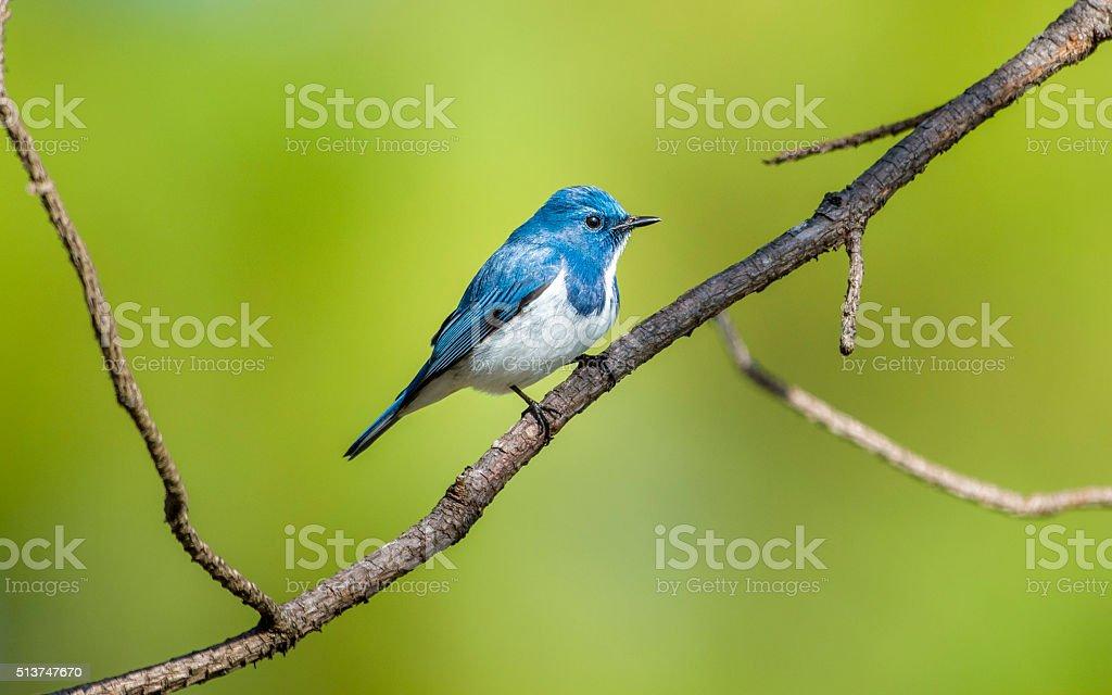 Ultramarine flycatcher : Bird in thailand stock photo
