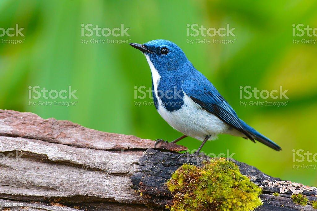 Ultramarine flycatcher bird stock photo