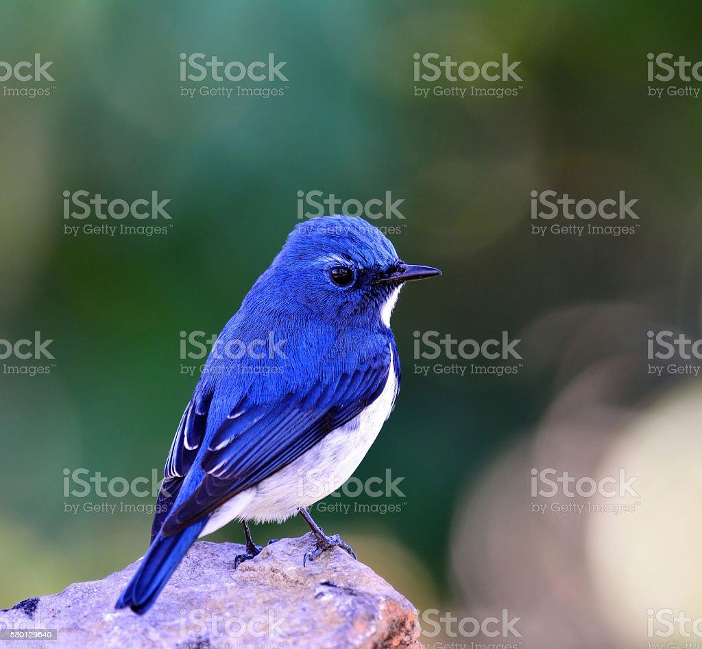 Ultramarine flycatcher or white-browed blue flycatcher (Ficedula stock photo