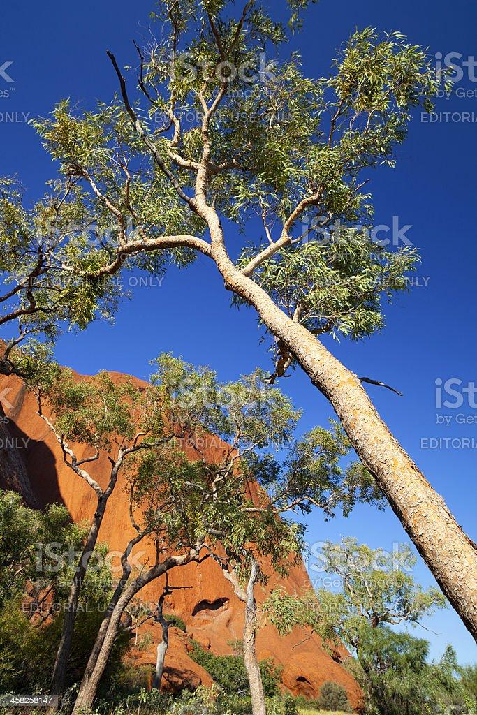 Uluru Gumtrees royalty-free stock photo