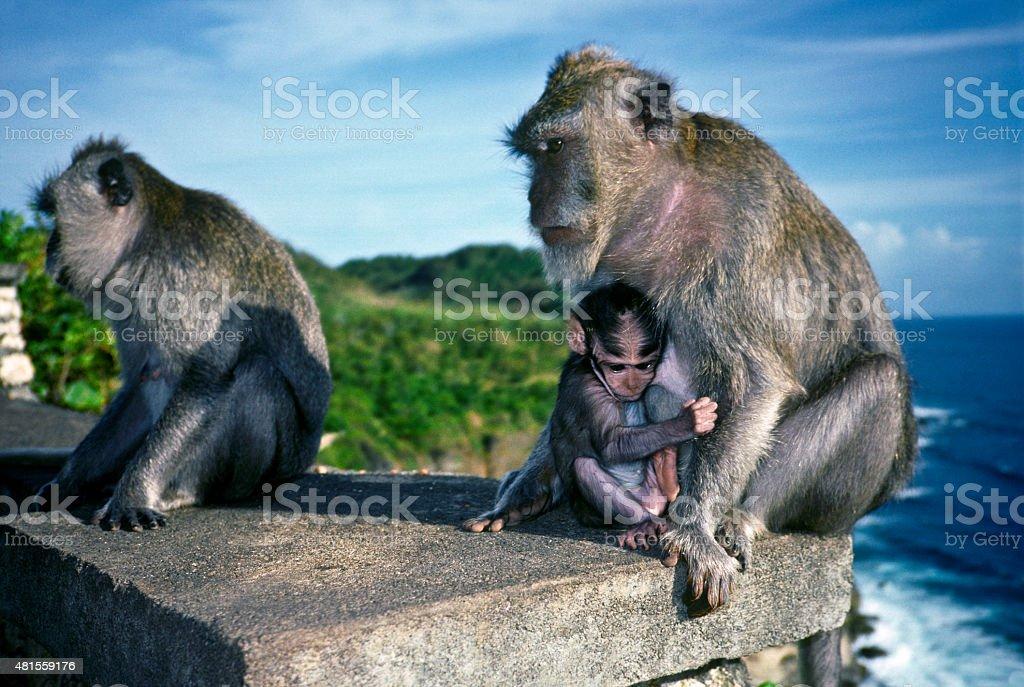Uluwatu monkey family stock photo