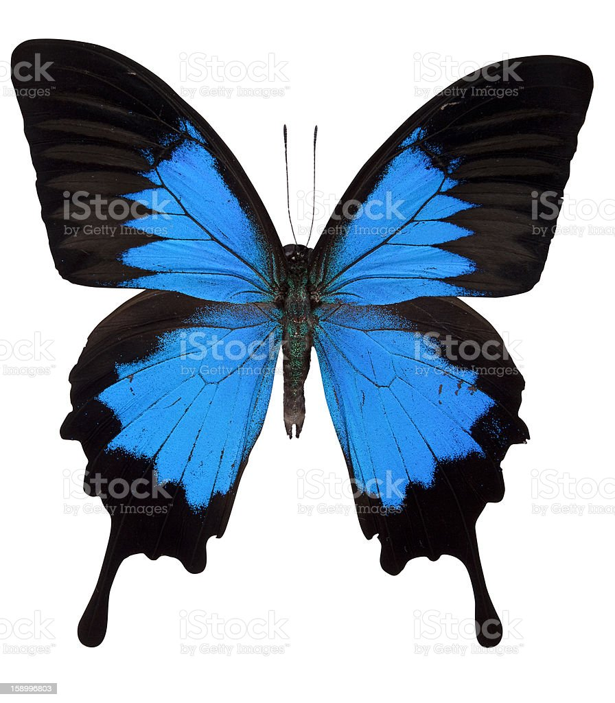 Ulysses Butterfly Isolated on White royalty-free stock photo