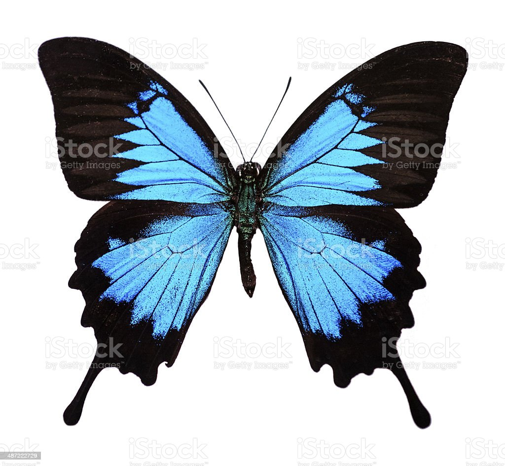 Ulysses butterfly (Papilio ulysses) stock photo