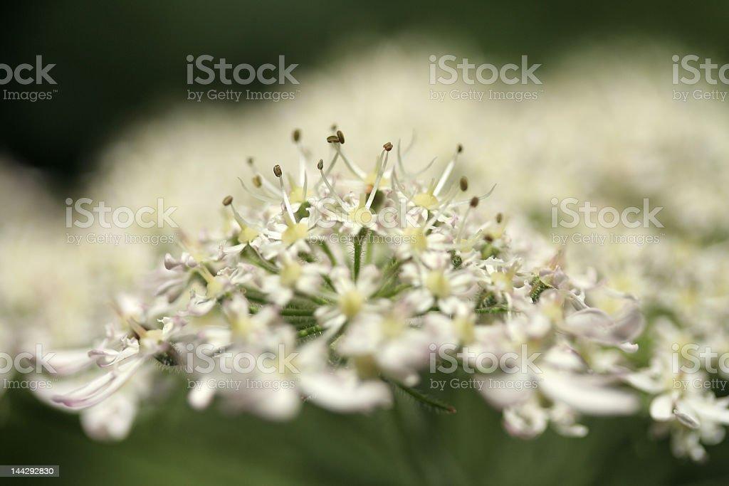 umbellifer macro stock photo