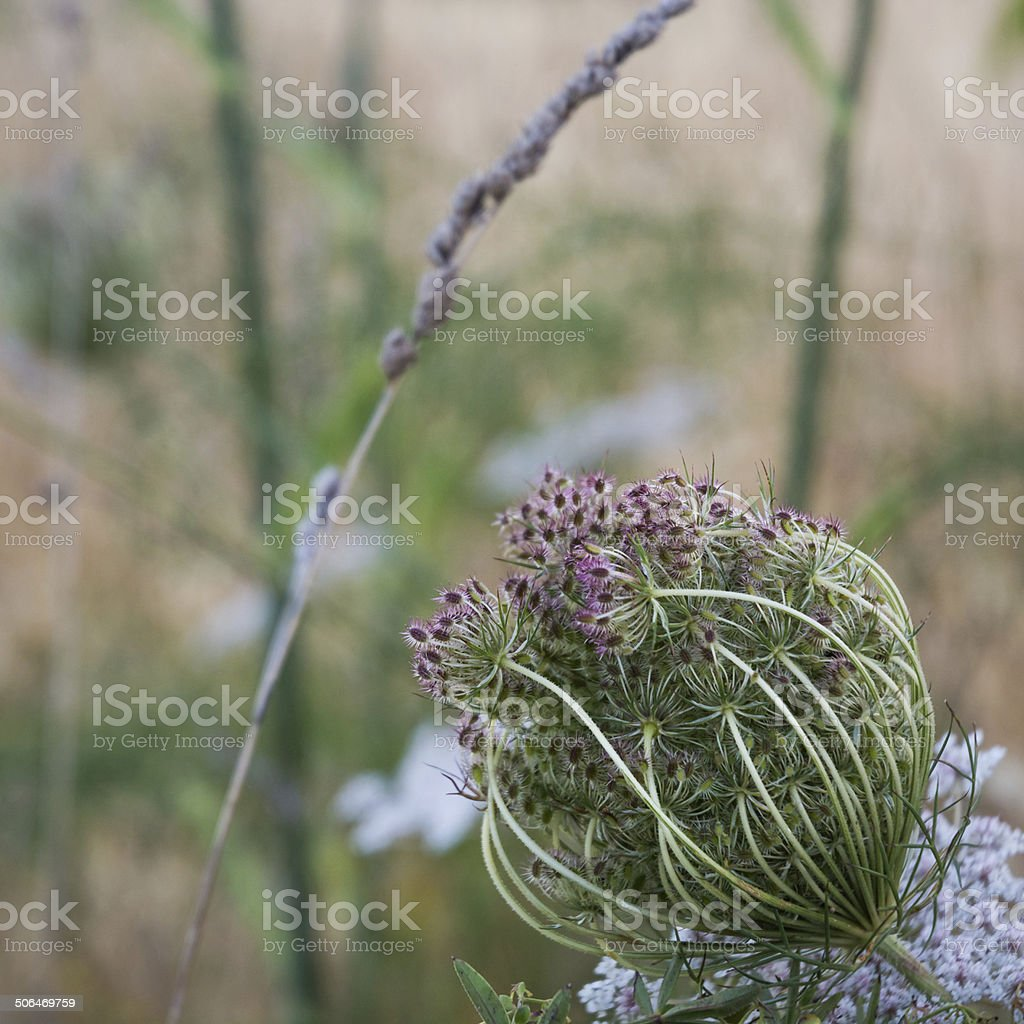 Umbelliferous royalty-free stock photo