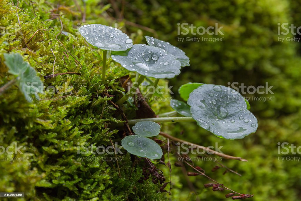 Umbilicus Rupestris Leaves between Mosses -  Umbilicus Rupestris stock photo