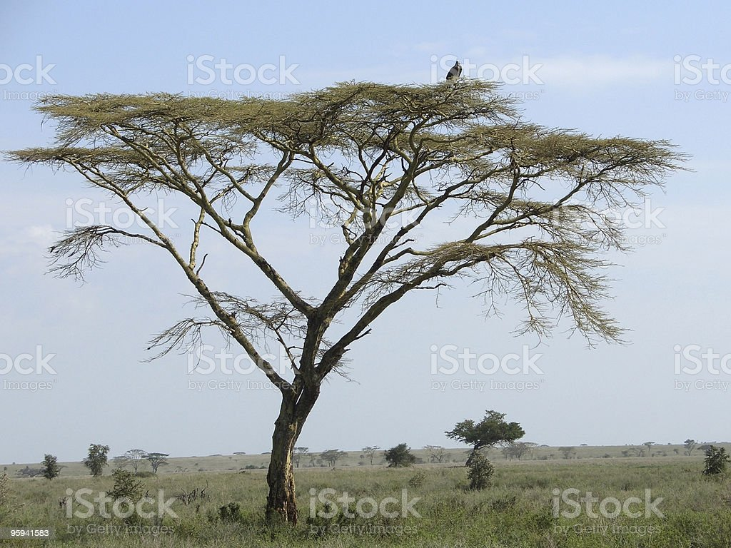 Umbrella Acacia and bird in Africa royalty-free stock photo