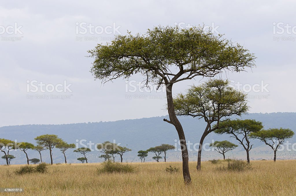 umbrella acacias in the african savannah royalty-free stock photo