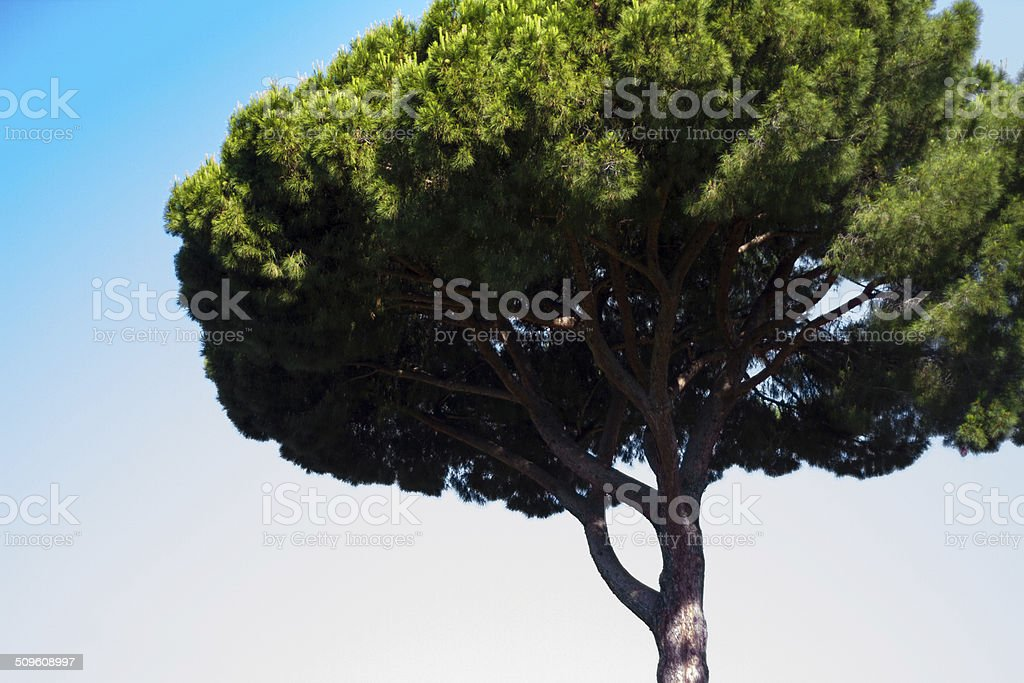 Umbrella Pine Tree, Rome stock photo