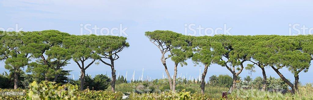 Umbrella Pines stock photo