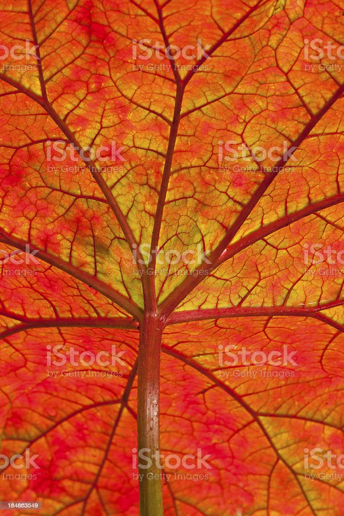 Umbrella Plant Close-up stock photo