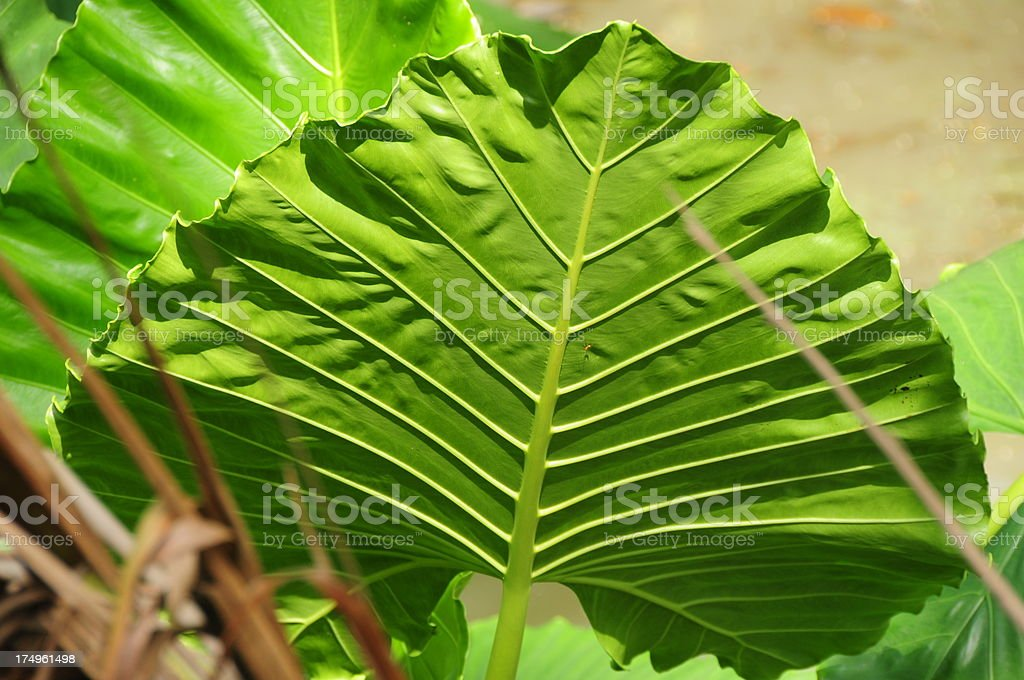 Umbrella plant, Sri Lanka. stock photo