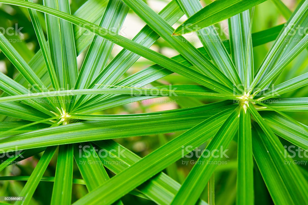 Umbrella Plant,Cyperaceae,papyrus stock photo