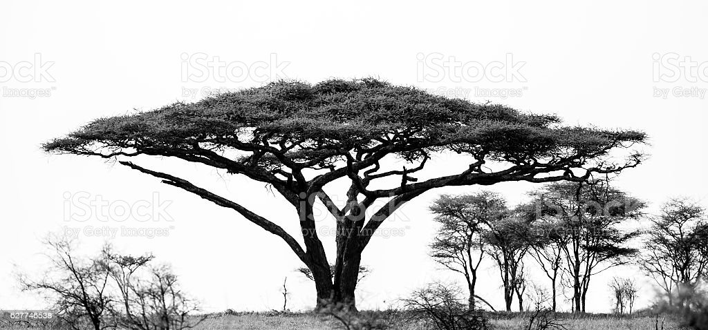 umbrella thorn acacia stock photo