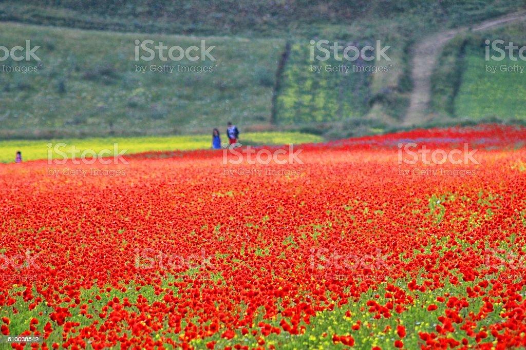 Umbria - Castelluccio - Poppies stock photo