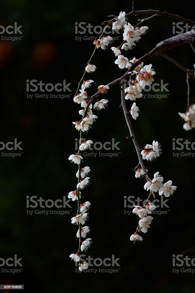 ume flower - ume blossom stock photo